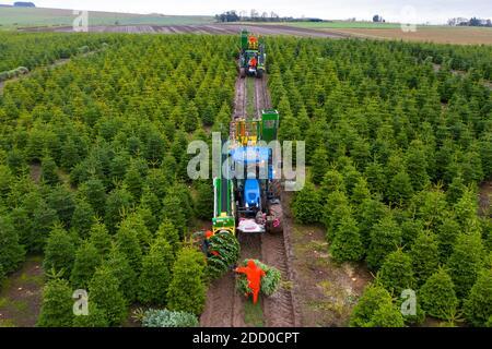 Milnathort, Escocia, Reino Unido. 23 de noviembre de 2020. Los árboles de Navidad se están cosechando en una plantación cerca de Milnathort en Perth y Kinross. La plantación es operada por la empresa Kilted Tree Company con sede en la granja Tillyochie cerca de Milnathort. Los trabajadores cortan árboles seleccionados y éstos se instalan dentro de las mangas protectoras utilizando maquinaria especializada en tractores antes de ser transportados al mercado. Iain Masterton/Alamy Live News