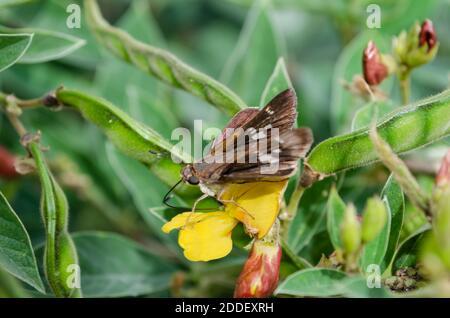 Mariposa de ala Nubodywing en Pigeon Pea Blossom Foto de stock