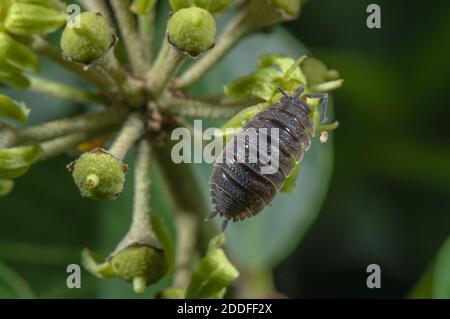 Común Rough woodlouse, Porcellio scaber, alimentándose de las flores Ivy a finales del verano.