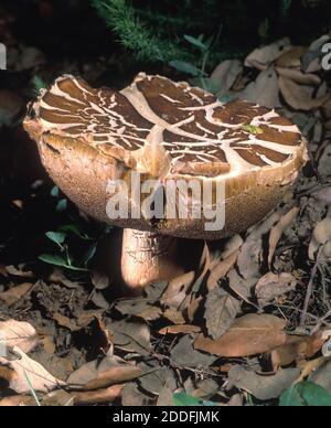 Musheroom, Boletus sp. Apreciado como ingrediente en varios platos culinarios, B. edulis es un hongo comestible que se mantiene en alta consideración en muchos