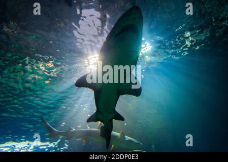 Tiburones silueteado contra la luz del sol azul en el acuario como aguas profundas.