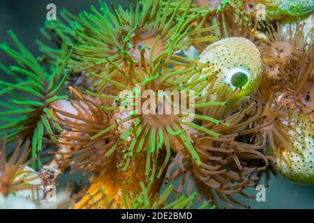 Anemones coloniales [Amphibianthus nitidus] con escuadrones verdes del mar del urno [Didemnum molle] [Atriolum robustum]. Estrecho de Lembeh, Sulawesi del Norte, Indonesia.