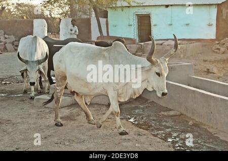 Las vacas blancas caminan en un pueblo, Rajasthan, India