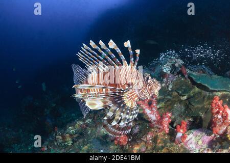 Peces de león depredadores rodeados de peces tropicales en un arrecife de coral En Tailandia (Richelieu Rock)