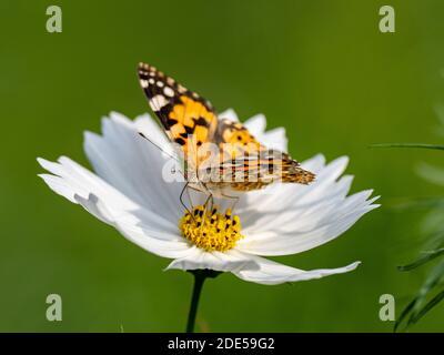 Una mariposa pintada, Vanessa cardui, bebe néctar de una flor blanca en un jardín de flores cerca de Yokohama, Japón.