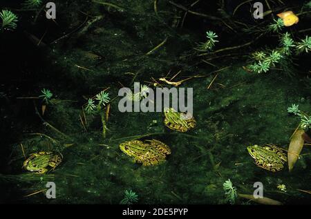 Rana comestible o rana verde, rana esculenta, adultos de pie en el estanque