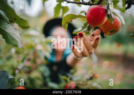 Mujer de cabello azul recogiendo frutas de manzana roja madura del árbol en el jardín verde. Estilo de vida orgánico, agricultura, ocupación jardinera
