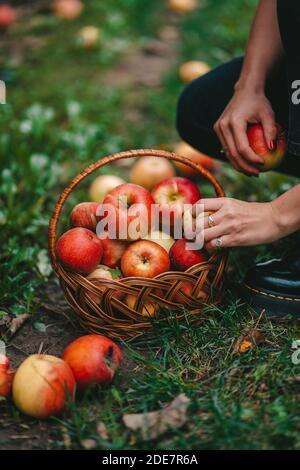 Mujer irreconocible recogiendo frutos rojos maduros de manzana en el jardín verde. Estilo de vida orgánico, agricultura, ocupación jardinera