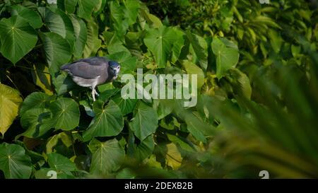 Garza nocturna coronada en negro para adultos (Nycticorax nycticorax) mirando a usted de pie en hojas verdes grandes