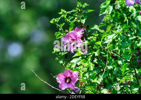 Los colibríes de garganta rubí se revolotan en el Néctar de recolección de flores de Hibiscus