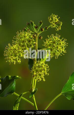 Hiedra común, hedera hélice, en flor y con fruta joven, a finales de otoño.