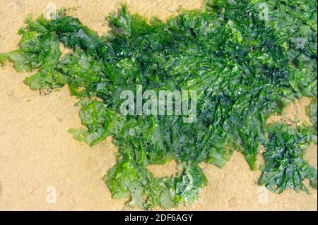 La lechuga de mar (Ulva lactuca) es un alga verde comestible de distribución mundial. Clorofita. Ulvales. Ulvaceae. Costa de Bretaña, Francia.