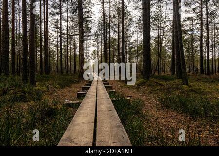 Camino Viru raba (Viru bog) en Estonia en el Parque Nacional Lahemaa, cerca de Tallinn. Camino de madera entre árboles altos en el día de invierno niebla. Foto de stock