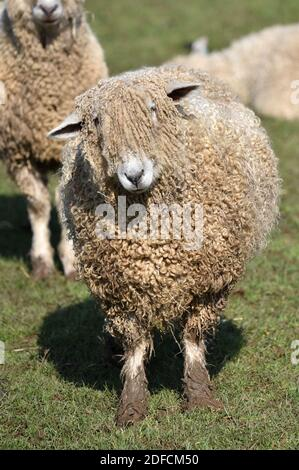 Cotswold Lion Sheep, Cotswolds, Gloucestershire, Inglaterra, Reino Unido