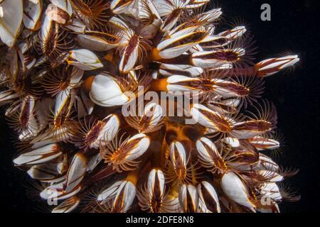 Percebes de cuello de cisne, Lepas anatifera, alimentándose de noche bajo un muelle en Filipinas. También conocido como percebes de tallos, percebes comunes de ganso, pela