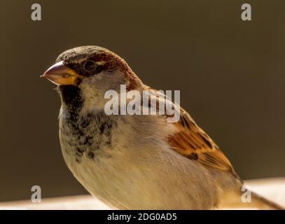Passer domesticus, cerca de un Sparrow macho