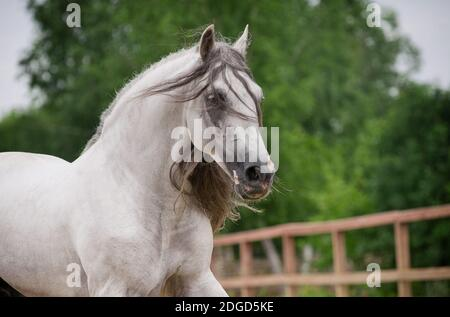 caballo andaluz en movimiento
