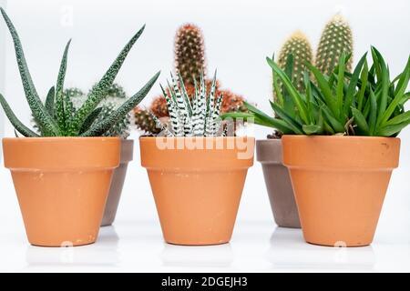 Colección de varios cactus y plantas suculentas en macetas de piedra.