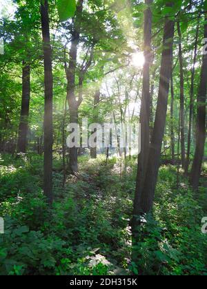 Bosque boscoso paisaje Vistas amanecer mañana con rayos de sol brillante A través de los árboles que muestran el crecimiento verde vibrante del bosque de verano calma y.. Escena tranquila Foto de stock