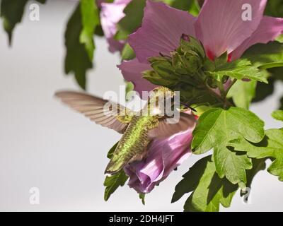 Hummingbird de garganta rubí en vuelo Nectar recogida de Rose of Sharon Flor Bloom
