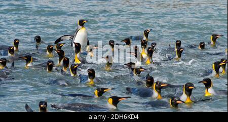 Pingüinos de rey nadando en el Océano Atlántico Sur, Isla de Georgia del Sur