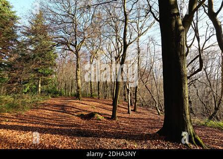 Haya árboles en el bosque en el North Downs en invierno cerca de Albury, Surrey Hills Inglaterra Reino Unido