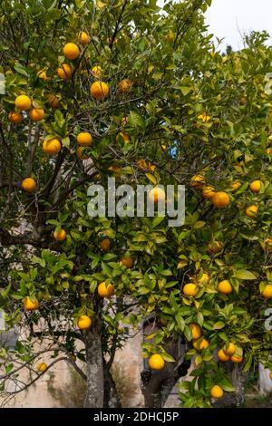 Una vista de cerca de un árbol de frutas cargado de naranjas jugosas en un bosque de naranjos