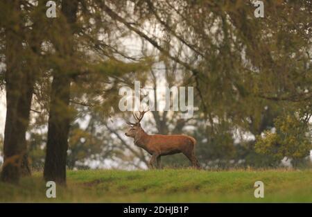 Un ciervo en los terrenos del Castillo de Raby, Condado de Durham rodeado de colores otoñales. Foto tomada el 16 de octubre de 2020