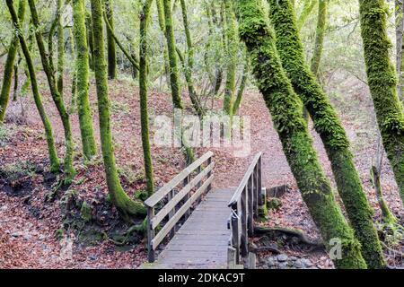 Footbridge Crossing Bay Laurel Forest en el condado de Santa Clara, California