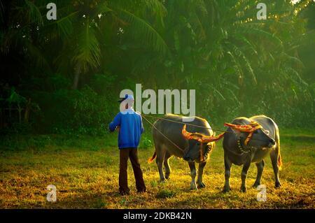 JEMBRANA, BALI, INDONESIA-AGOSTO de 14, Makepung es el nombre de un gran premio de búfalos en Jembrana, Bali Occidental que ofrece carreras de búfalos de carreras celebradas el 14 de agosto de 2005. Makepung es una de las tradiciones únicas surgida de la escena de la vida agraria de la isla, y es un evento ampliamente disfrutado en la regencia de Jembrana, Bali Occidental. Foto de stock