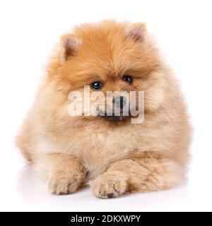 Pomeranian Spitz miente y posan delante de la cámara.