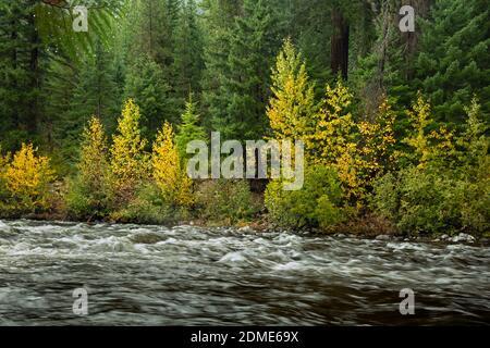 WA18776-00...WASHINGTON - Color de otoño a lo largo de las orillas de Icicle Creek visto desde el camino Icicle Gorge en el Bosque Nacional Wenatchee.