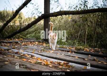 Un lindo gatito fue primero a dar un paseo por el bosque, jugando con hojas en un puente de madera.