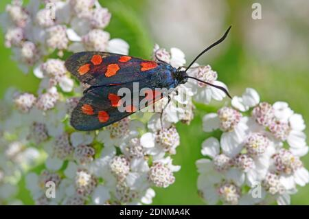 Burnett de seis puntos (Zygaena filipendulae) en flores comunes de Yarrow (Achillea millefolium). Austria