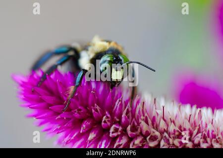 Bumble Bee en la flor de Fuchsia