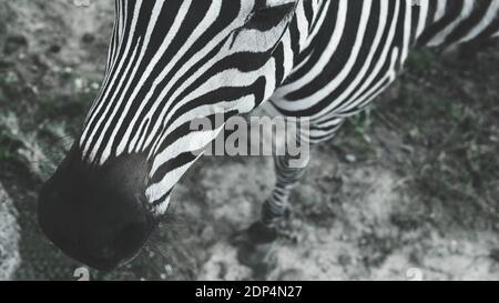 Retrato de una cebra, en blanco y negro, primer plano, hermoso y bien cuidado animal.