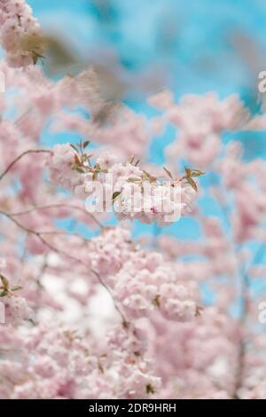 Ángulo de visión baja de los Cerezos en flor