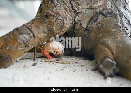 Cangrejo ermitaño rojo en la arena cerca de un árbol