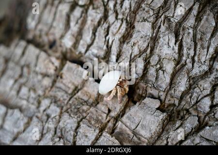 Cerca de cangrejo ermitaño en el árbol