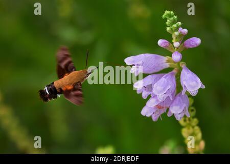 Macroglossum Stellatarum Comer de un Digitalis purpurea mientras vuela