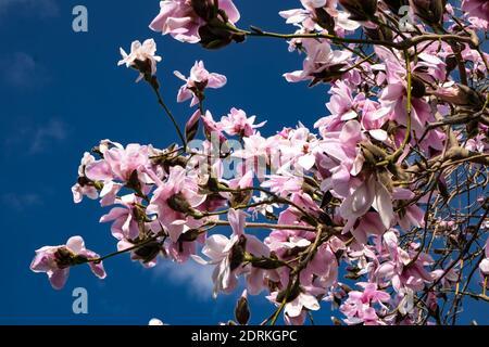 Ángulo de visión baja de flores de cerezo rosa contra el cielo