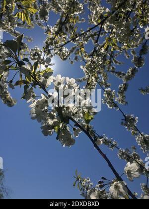 Ángulo de visión baja de los Cerezos en flor contra el cielo