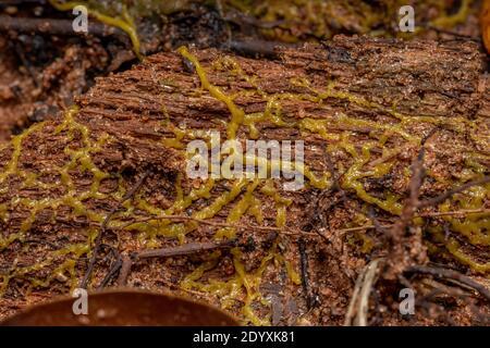 Plásmido de los muchos scales encabezados de la especie Physarum la policefalia se extiende sobre la raíz de un árbol
