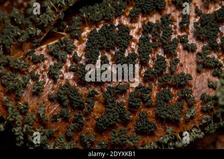 Esporangia de los muchos Slime encabezados de la especie Physarum la policefalia se dispersa en hojas secas en el suelo