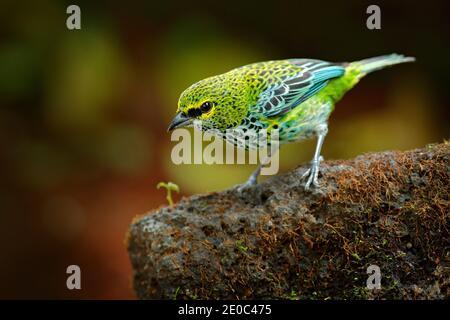 Tanagers moteado, Tangara guttata, sentado en la piedra marrón. Aves tropicales en el hábitat natural. Vida silvestre en Costa Rica. Montaña amarilla y verde