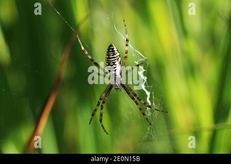 Una araña avispa femenina en su red en verano Baviera