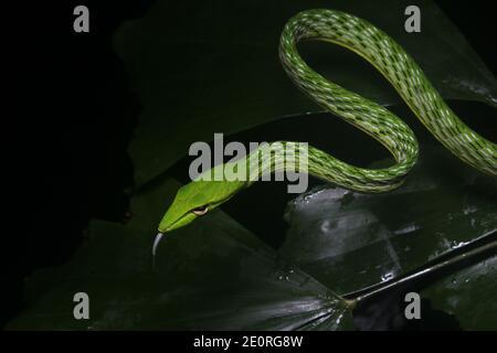 Serpiente verde sobre fondo negro - serpiente común de la vid (ahaetulla nasuta). Serpiente de la selva del sudeste asiático.