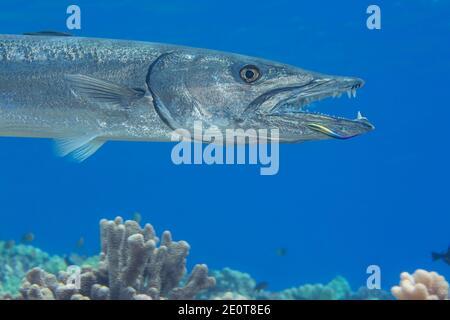 Gran barracuda, Sphyraena barracuda, puede alcanzar hasta seis pies de longitud. Este individuo se ha acercada al arrecife para ser limpiado por un endémico