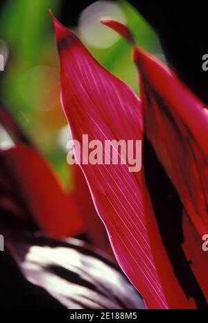 Red ti leaf closeup, backlit by sun