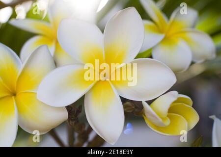 Flores de Plumeria, una flor fragante profundamente ligada a Hawai y su cultura, también llamada ''frangipani